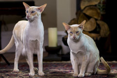 Beautiful Siamese cat Royalty Free Stock Images