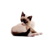 Beautiful Siamese Cat Peting Itself Royalty Free Stock Image