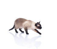 A beautiful Siamese cat on a white background Royalty Free Stock Images