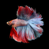 Beautiful siamese fighting fish, betta fish Royalty Free Stock Image