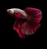 Beautiful siamese fighting fish on black Stock Image