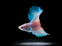 Beautiful siamese fighting fish on black Stock Photo