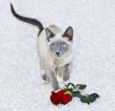 Beautiful Siamese Kitten Stock Photo