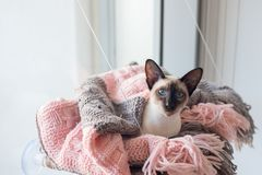 Siamese with blue eyes in pink and grey blanket Royalty Free Stock Photography
