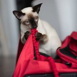 Siamese with red bag and leash Royalty Free Stock Photos