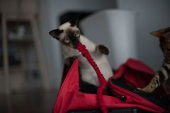 Siamese with red bag and leash Royalty Free Stock Photography