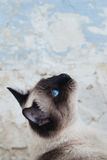Beautiful Siamese Purebred Cat Stock Image