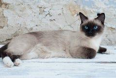 Beautiful Siamese Purebred Cat Stock Photography
