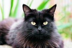 Beautiful Siberian black and brown cat closeup outdoors eye contact Royalty Free Stock Photo