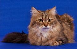 Beautiful siberian cat Stock Photo