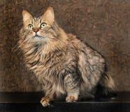 Beautiful Siberian cat. Brown color portrait Stock Photo
