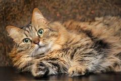 Beautiful Siberian cat. Brown color portrait stock photos