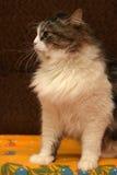 Beautiful Siberian cat. At home Stock Image