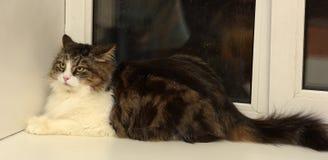 Beautiful Siberian cat. At home Stock Images