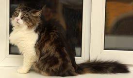 Beautiful Siberian cat. At home Royalty Free Stock Photos