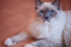 Beautiful siberian cat with blue eyes on the trendy living coral backround royalty free stock photo