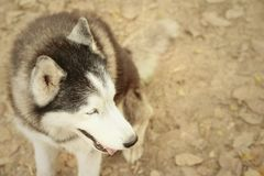Beautiful siberian Huggies sitting in the park. Royalty Free Stock Photography