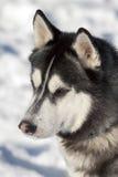 Beautiful Siberian Husky Stock Photos