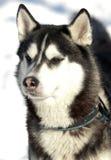 Beautiful Siberian Husky Royalty Free Stock Photo