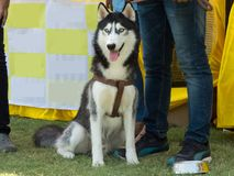 Beautiful Siberian Husky Dog. Best looking dog breed. At Dog Show event held in Indore, India royalty free stock photos