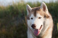 Beautiful siberian husky dog with brown eyes sitting in the field near the sea at golden sunset. Close-up Portrait of beautiful and happy beige and white stock image