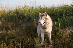Beautiful siberian husky dog with brown eyes standing in the field near the sea at golden sunset. Profile Portrait of beautiful and happy beige and white royalty free stock photo