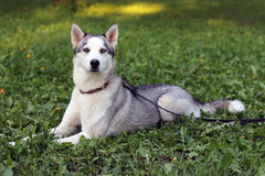 Beautiful siberian husky dog laying at the grass Royalty Free Stock Images