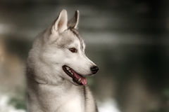 Beautiful Siberian Husky dog like a wolf. A huskey wolf dog portrait in the autumn park Stock Images