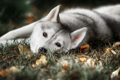 Beautiful Siberian Husky dog like a wolf Royalty Free Stock Photos