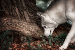 Beautiful Siberian Husky dog like a wolf. A huskey wolf dog portrait in the autumn park Royalty Free Stock Image