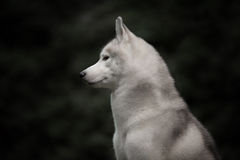 Beautiful Siberian Husky dog like a wolf. A huskey wolf dog portrait in the autumn park Royalty Free Stock Photos