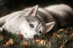 Beautiful Siberian Husky dog like a wolf. A huskey wolf dog portrait in the autumn park Stock Photo