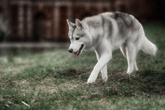 Beautiful Siberian Husky dog like a wolf Royalty Free Stock Photos