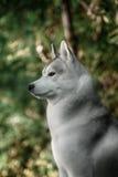 Beautiful Siberian Husky dog like a wolf Royalty Free Stock Images
