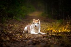 Beautiful siberian Husky dog lying in the dark fall mysterious forest at sunset. Portrait of beautiful and free beige siberian Husky dog lying on the path in the stock images