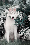 Beautiful Siberian Husky dog portrait. In garden Royalty Free Stock Photos