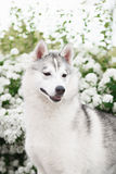 Beautiful Siberian Husky dog portrait. In garden Stock Photo