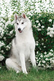 Beautiful Siberian Husky dog portrait. In garden Royalty Free Stock Images
