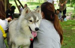 Beautiful  siberian husky dog sitting between people Royalty Free Stock Photography