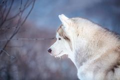 Beautiful Siberian Husky dog sitting is on the snow in winter forest at sunset. Profile portrait of gorgeous an free Siberian Husky dog sitting is on the snow in royalty free stock images