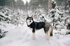 Siberian Husky dog walking in snowy winter pine forest. Beautiful Siberian Husky dog walking in snowy winter pine forest royalty free stock photography