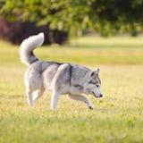 Beautiful siberian husky dog Stock Photo