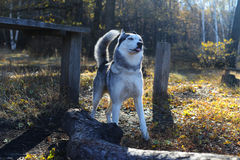 Beautiful Siberian Husky in the golden autumn forest fairy Royalty Free Stock Image