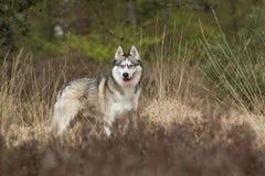 Beautiful Siberian husky in the heathland Royalty Free Stock Photography
