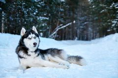 Beautiful Siberian husky lying on snow in winter forest. Cute black and white husky dog with blue eyes on walk in park. Copyspace. Beautiful Siberian husky Royalty Free Stock Image