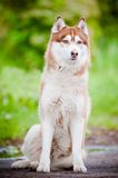 Beautiful siberian husky portrait Royalty Free Stock Photo