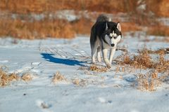 Beautiful Siberian Husky runs through stock images