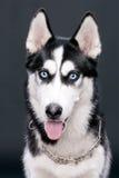 Beautiful Siberian Husky shows tongue Royalty Free Stock Photos