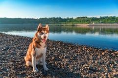 Beautiful Siberian husky sits on river bank against blue clear sky. Husky dog on walk in warm evening. Summer peaceful landscape. Beautiful Siberian husky sits stock image