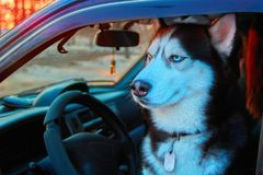 Beautiful Siberian husky sitting in car and looks at street. Noble dog with blue eyes sitting in the driver`s seat of the car. Beautiful Siberian husky sitting Royalty Free Stock Images